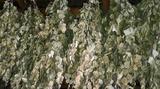 Веники березовые для бани и сауны